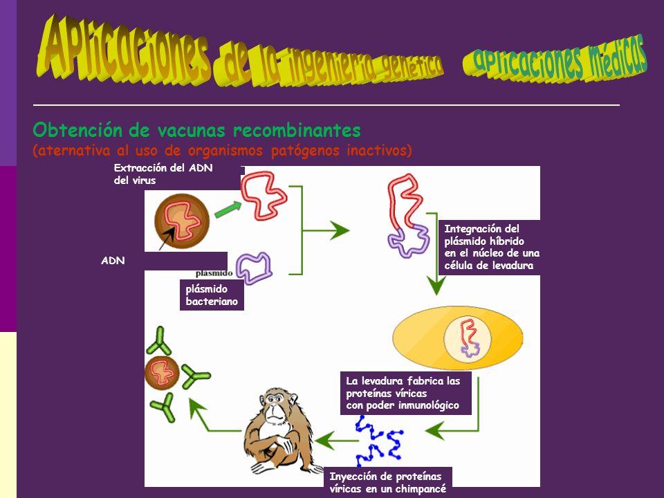Obtención de vacunas recombinantes (aternativa al uso de organismos patógenos inactivos) La levadura fabrica las proteínas víricas con poder inmunológ