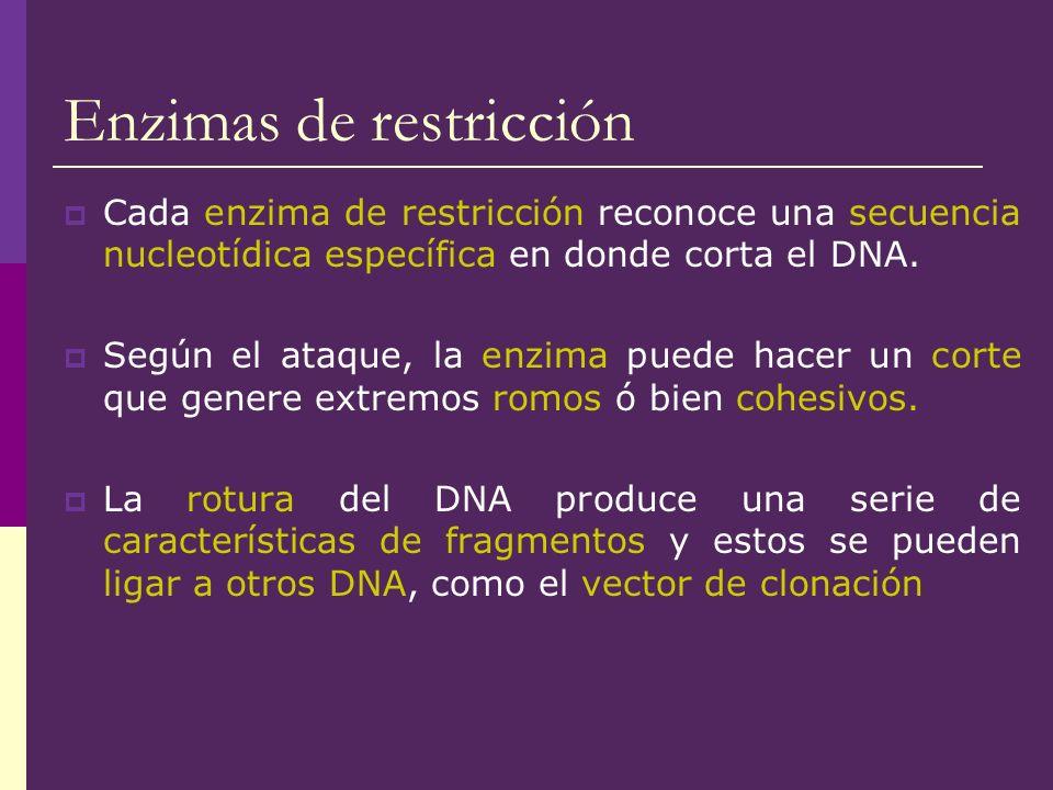 Enzimas de restricción Cada enzima de restricción reconoce una secuencia nucleotídica específica en donde corta el DNA. Según el ataque, la enzima pue