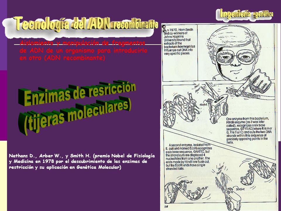 Molécula AMolécula B Digestión de ambas moléculas con la misma enzima de restricción, BamHI Mezclar Tratar con ADN-ligasa ADN recombinante Extremos cohesivos