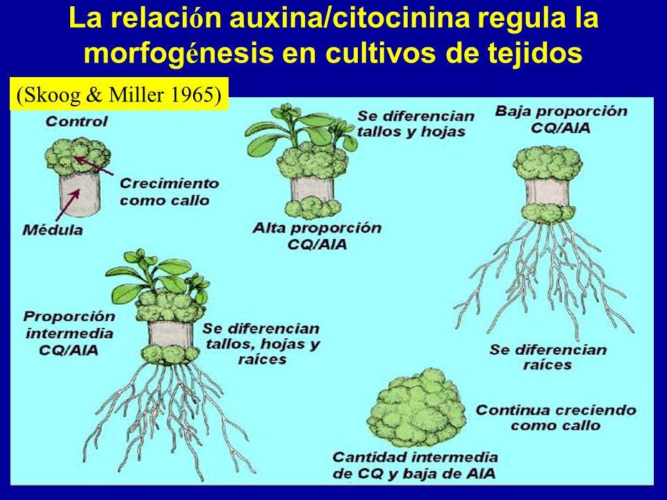 La relaci ó n auxina/citocinina regula la morfog é nesis en cultivos de tejidos (Skoog & Miller 1965)