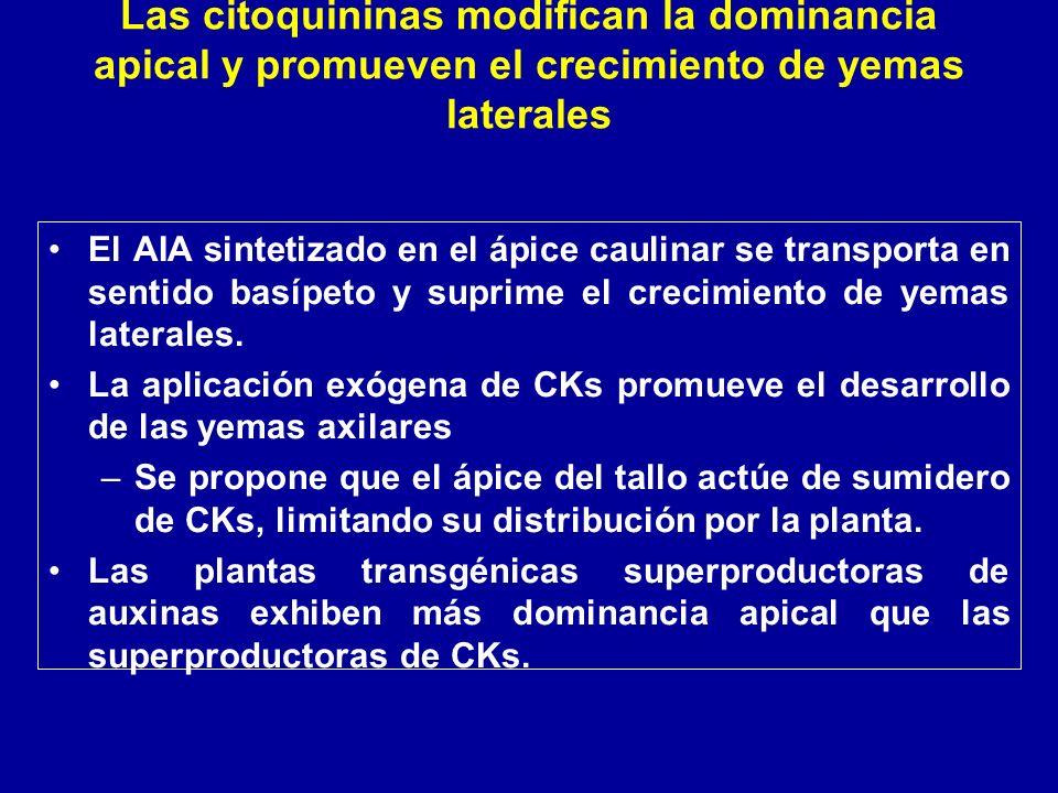 El AIA sintetizado en el ápice caulinar se transporta en sentido basípeto y suprime el crecimiento de yemas laterales. La aplicación exógena de CKs pr