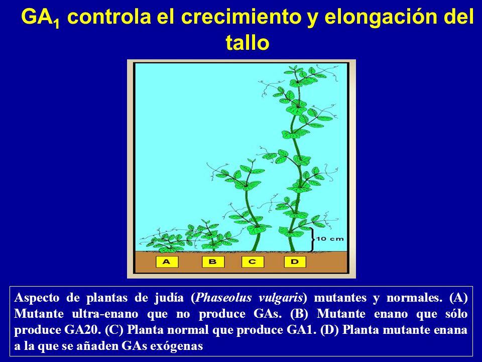 Aspecto de plantas de judía (Phaseolus vulgaris) mutantes y normales. (A) Mutante ultra-enano que no produce GAs. (B) Mutante enano que sólo produce G