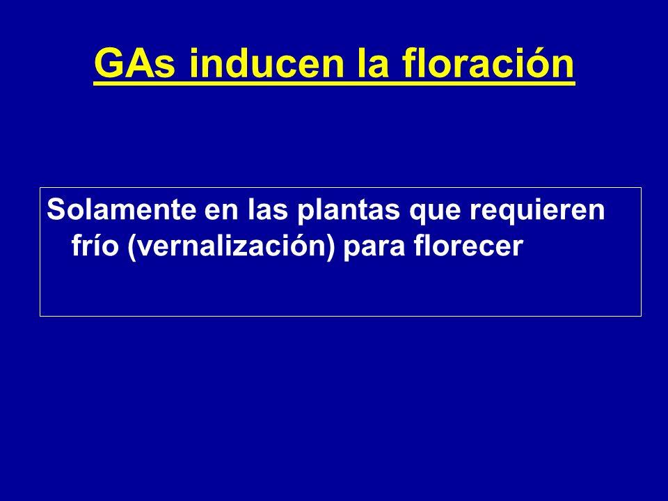 GAs inducen la floración Solamente en las plantas que requieren frío (vernalización) para florecer