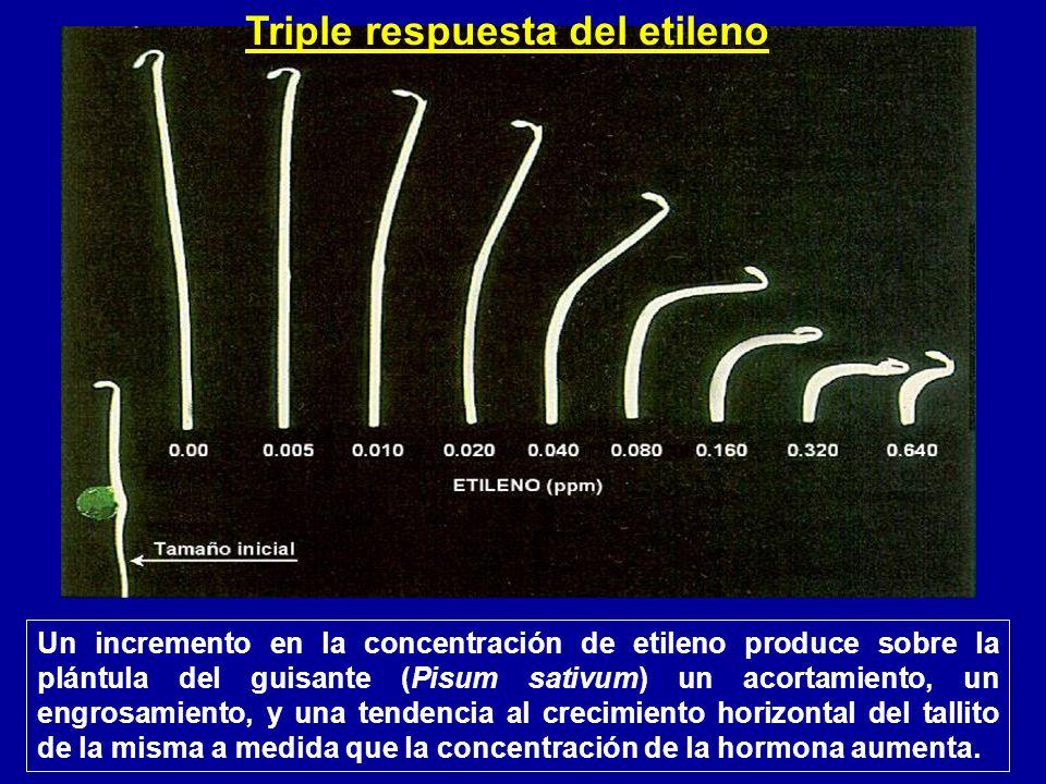 Un incremento en la concentración de etileno produce sobre la plántula del guisante (Pisum sativum) un acortamiento, un engrosamiento, y una tendencia