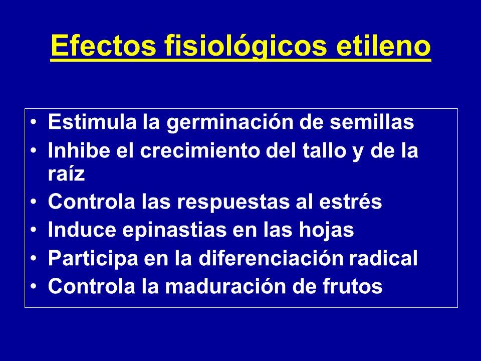 Efectos fisiológicos etileno Estimula la germinación de semillas Inhibe el crecimiento del tallo y de la raíz Controla las respuestas al estrés Induce