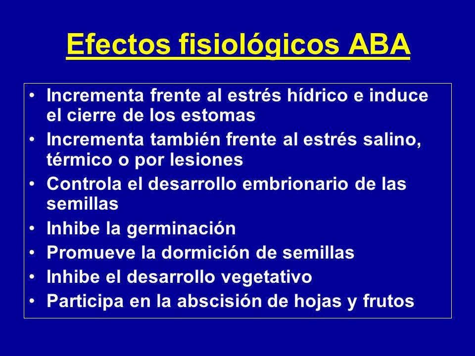 Efectos fisiológicos ABA Incrementa frente al estrés hídrico e induce el cierre de los estomas Incrementa también frente al estrés salino, térmico o p