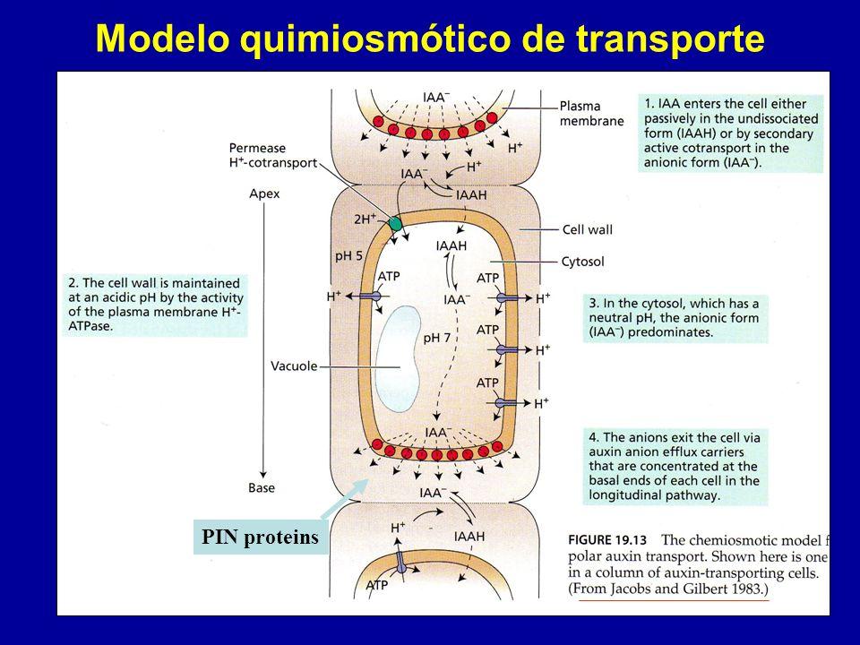 Modelo quimiosmótico de transporte PIN proteins