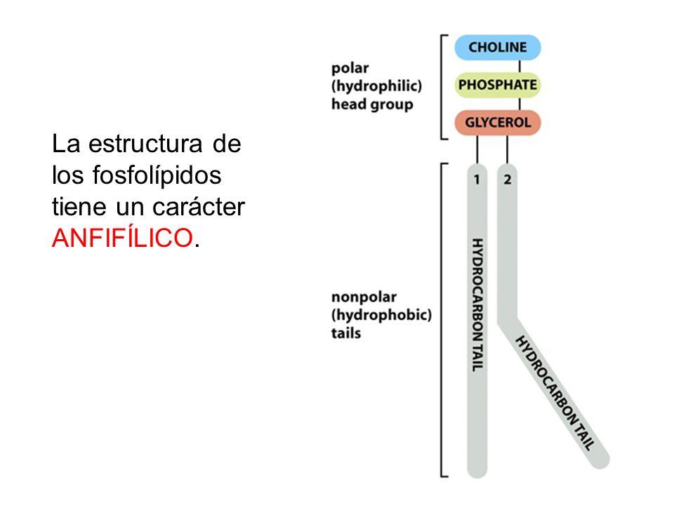 La estructura de los fosfolípidos tiene un carácter ANFIFÍLICO.