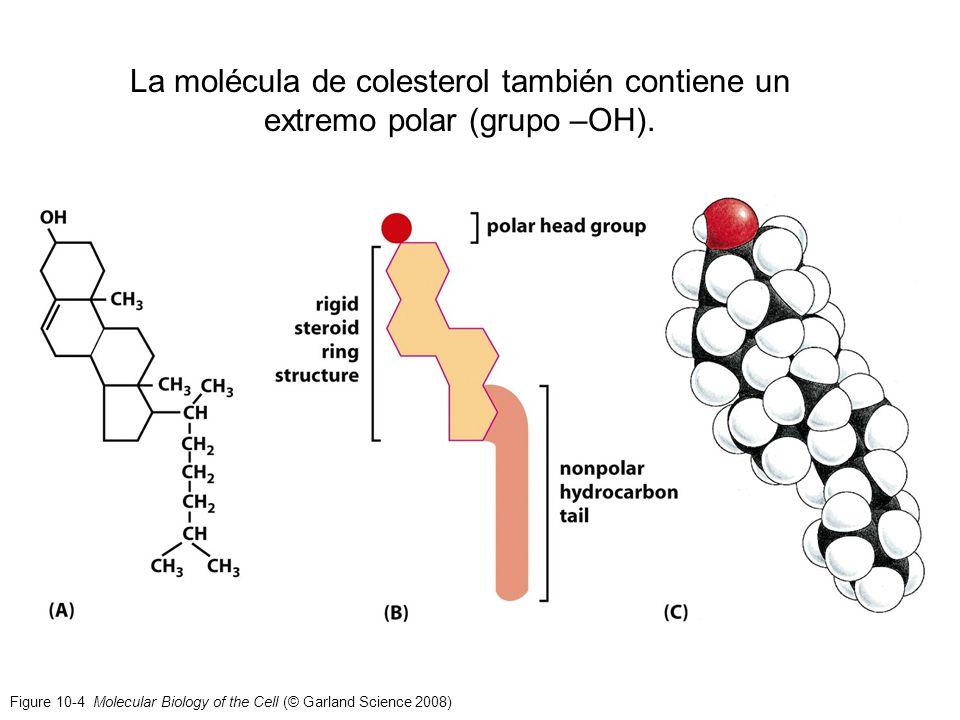 Figure 10-4 Molecular Biology of the Cell (© Garland Science 2008) La molécula de colesterol también contiene un extremo polar (grupo –OH).