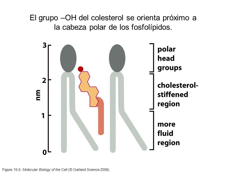 Figure 10-5 Molecular Biology of the Cell (© Garland Science 2008) El grupo –OH del colesterol se orienta próximo a la cabeza polar de los fosfolípido