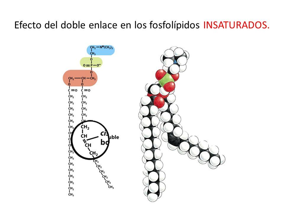 Efecto del doble enlace en los fosfolípidos INSATURADOS.