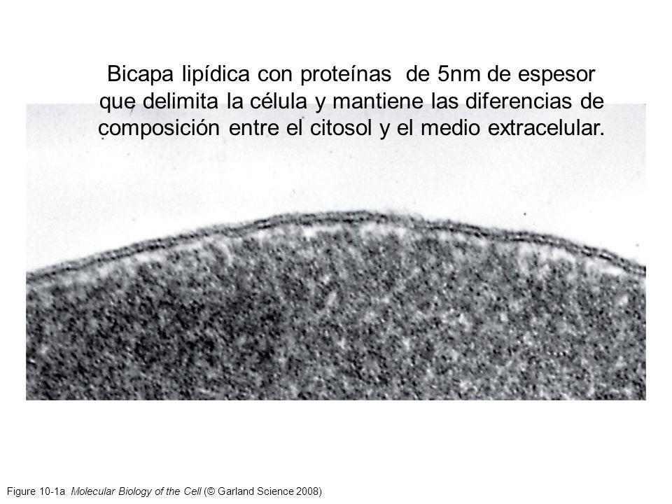 Figure 10-1a Molecular Biology of the Cell (© Garland Science 2008) Bicapa lipídica con proteínas de 5nm de espesor que delimita la célula y mantiene