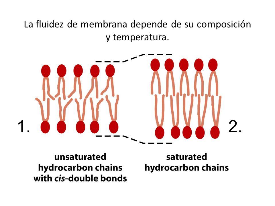 La fluidez de membrana depende de su composición y temperatura. 1.2.