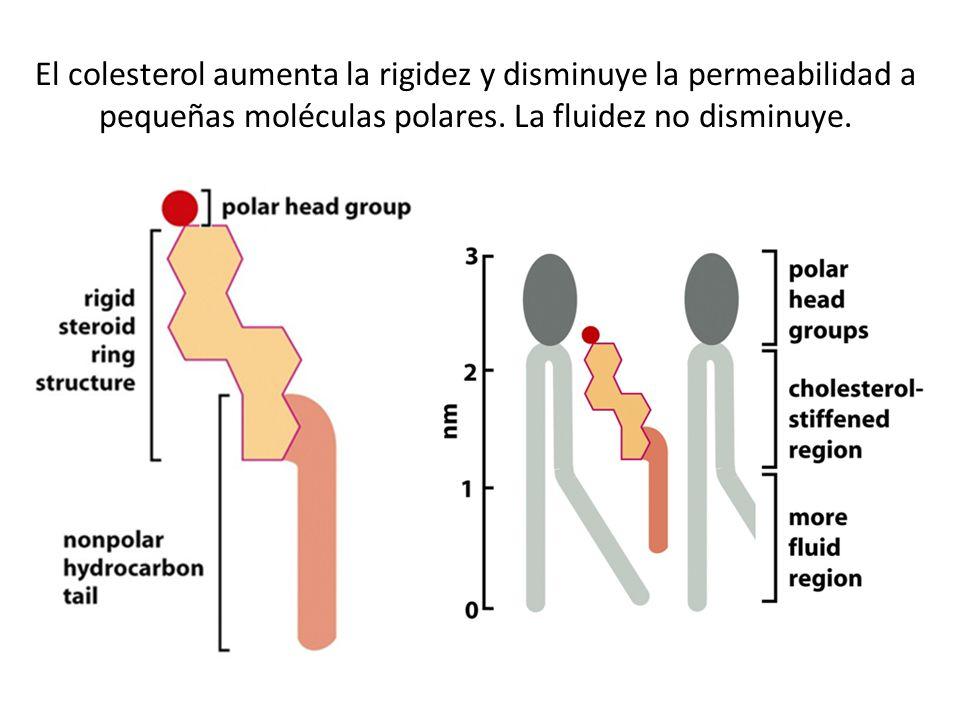 El colesterol aumenta la rigidez y disminuye la permeabilidad a pequeñas moléculas polares. La fluidez no disminuye.