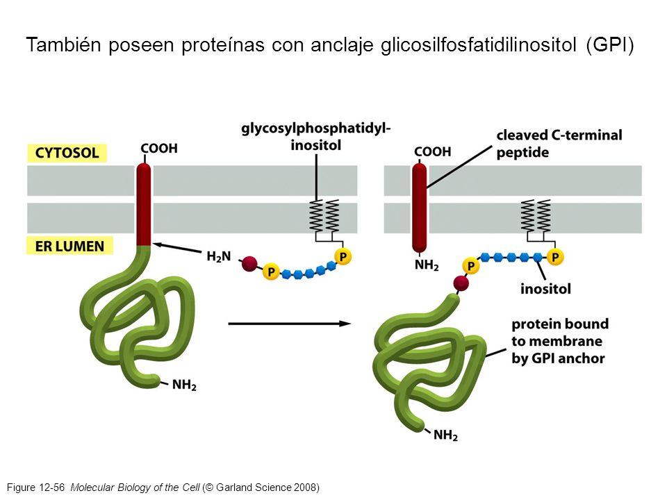 Figure 12-56 Molecular Biology of the Cell (© Garland Science 2008) También poseen proteínas con anclaje glicosilfosfatidilinositol (GPI)