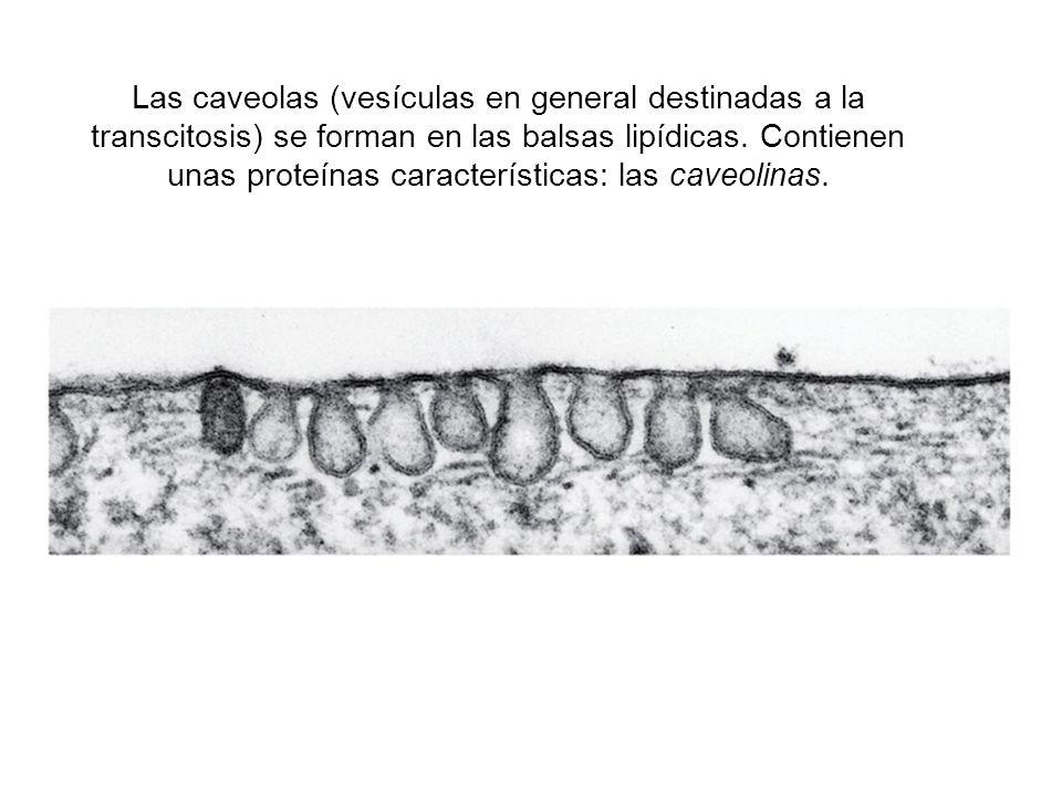 Las caveolas (vesículas en general destinadas a la transcitosis) se forman en las balsas lipídicas. Contienen unas proteínas características: las cave