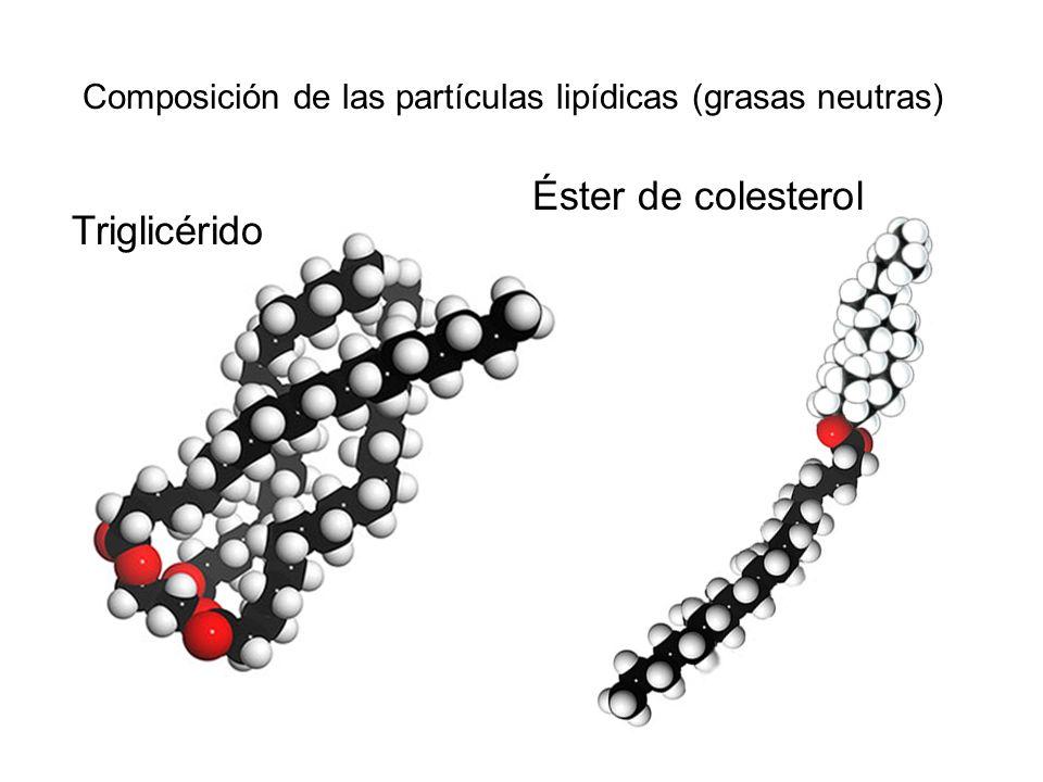 Triglicérido Éster de colesterol Composición de las partículas lipídicas (grasas neutras)
