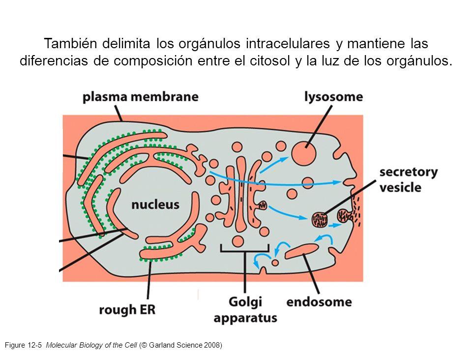 Figure 12-5 Molecular Biology of the Cell (© Garland Science 2008) También delimita los orgánulos intracelulares y mantiene las diferencias de composi