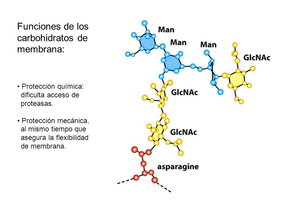 Funciones de los carbohidratos de membrana: Protección química: dificulta acceso de proteasas. Protección mecánica, al mismo tiempo que asegura la fle
