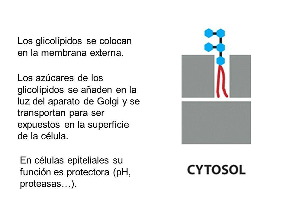 Los glicolípidos se colocan en la membrana externa. Los azúcares de los glicolípidos se añaden en la luz del aparato de Golgi y se transportan para se