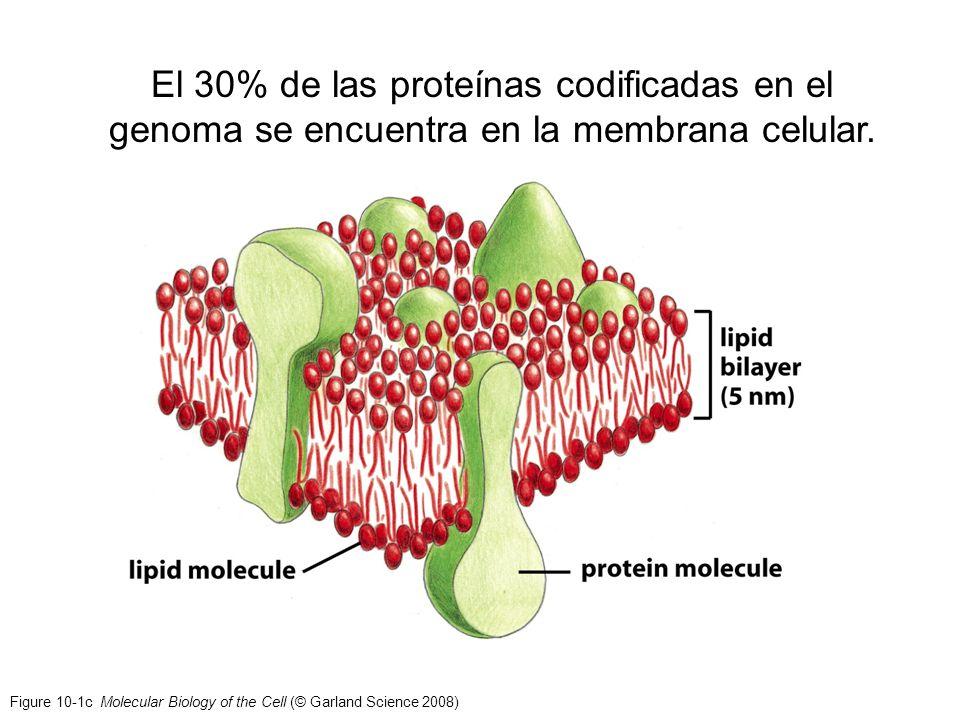 Figure 10-1c Molecular Biology of the Cell (© Garland Science 2008) El 30% de las proteínas codificadas en el genoma se encuentra en la membrana celul