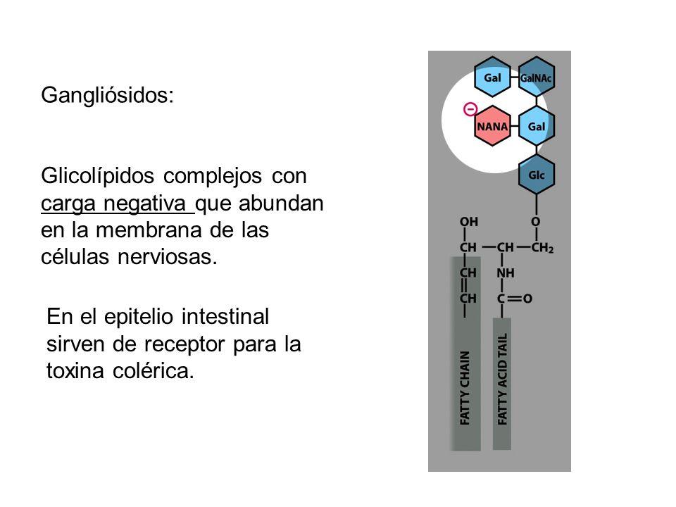 Gangliósidos: Glicolípidos complejos con carga negativa que abundan en la membrana de las células nerviosas. En el epitelio intestinal sirven de recep
