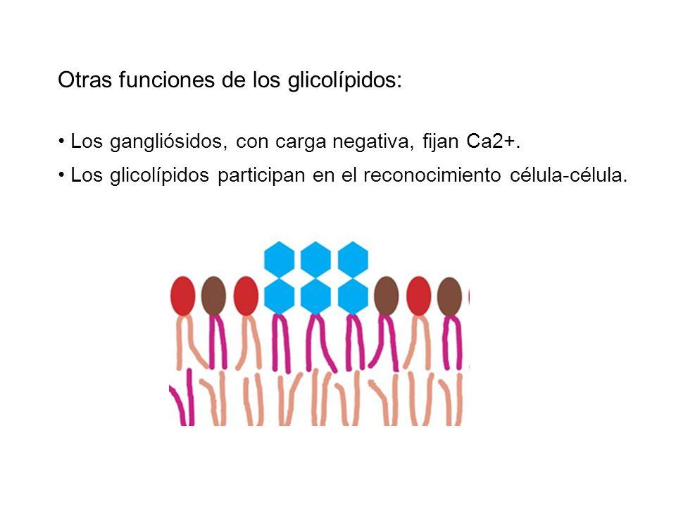 Otras funciones de los glicolípidos: Los gangliósidos, con carga negativa, fijan Ca2+. Los glicolípidos participan en el reconocimiento célula-célula.