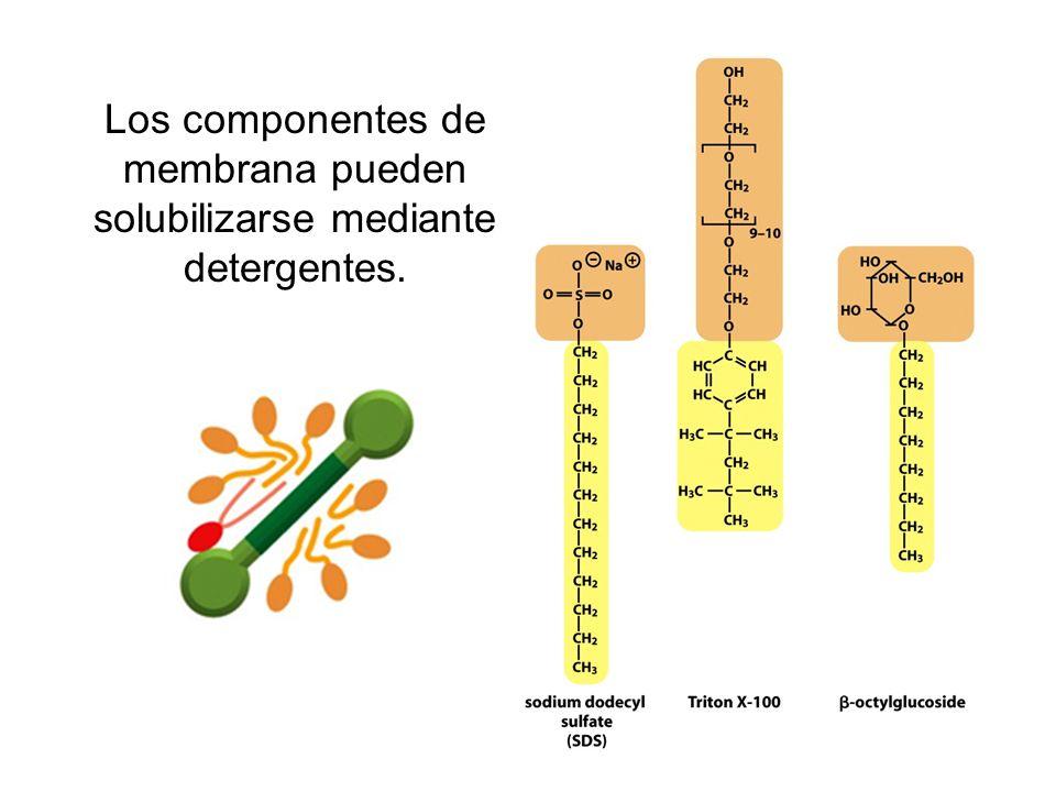 Los componentes de membrana pueden solubilizarse mediante detergentes.