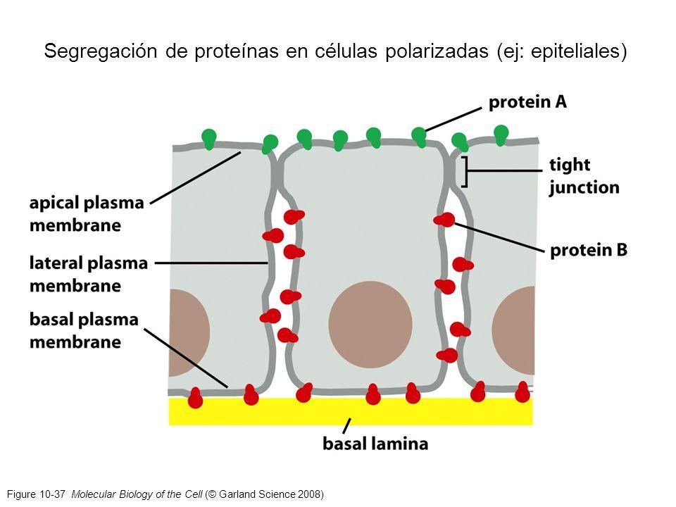 Figure 10-37 Molecular Biology of the Cell (© Garland Science 2008) Segregación de proteínas en células polarizadas (ej: epiteliales)