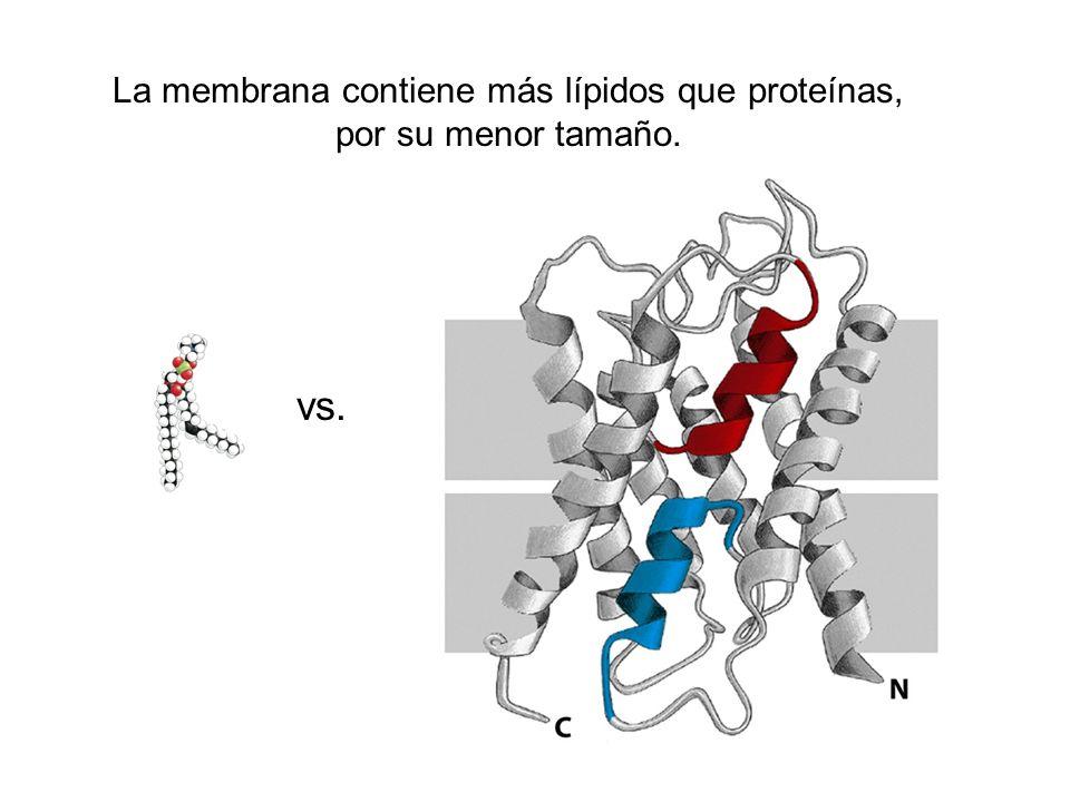 La membrana contiene más lípidos que proteínas, por su menor tamaño. vs.