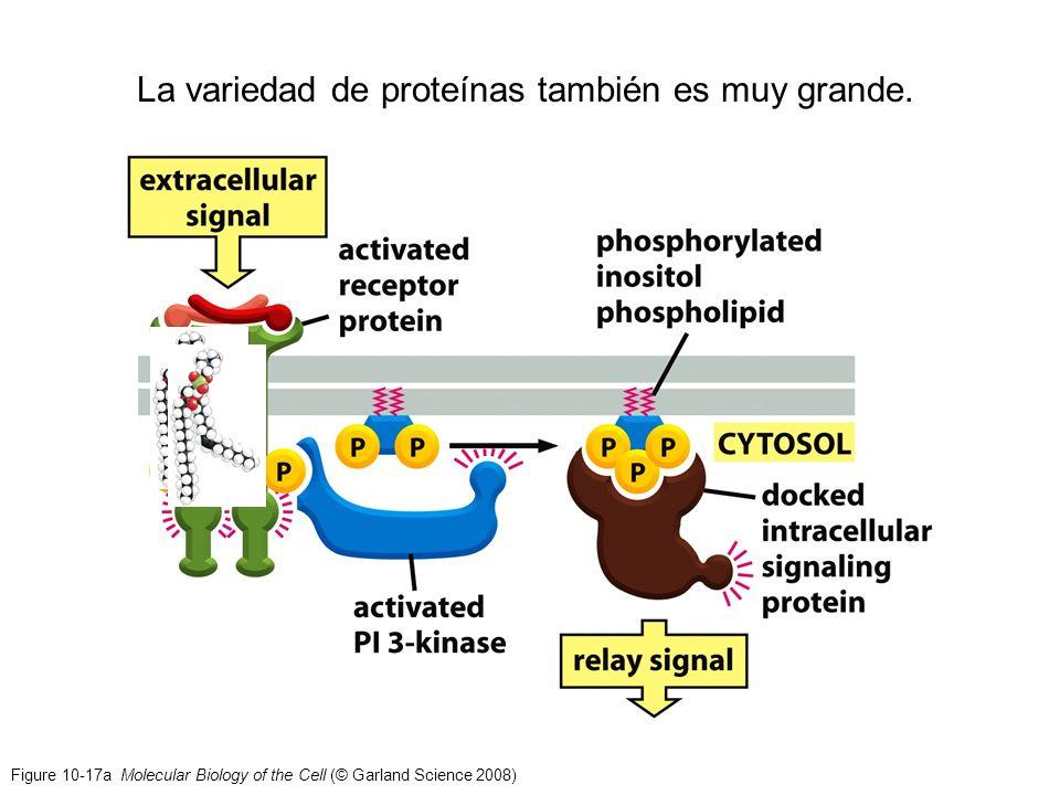 Figure 10-17a Molecular Biology of the Cell (© Garland Science 2008) La variedad de proteínas también es muy grande.