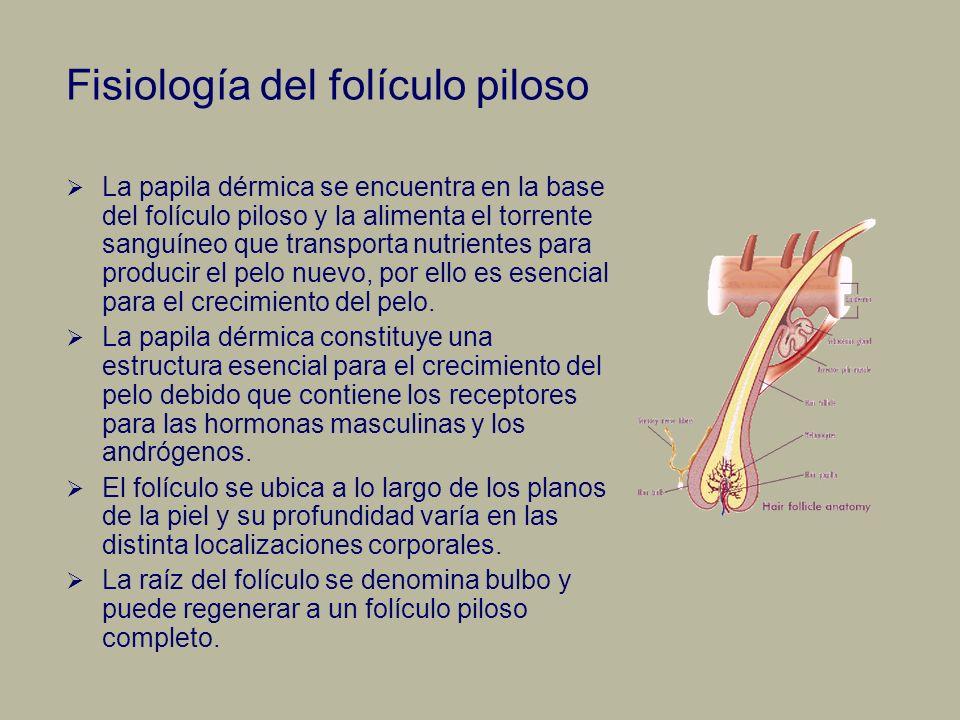Fisiología del folículo piloso La papila dérmica se encuentra en la base del folículo piloso y la alimenta el torrente sanguíneo que transporta nutrie