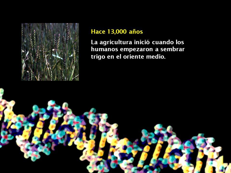 Hace 10 a 13 mil años La agricultura inició en América del Norte y en América del Sur.