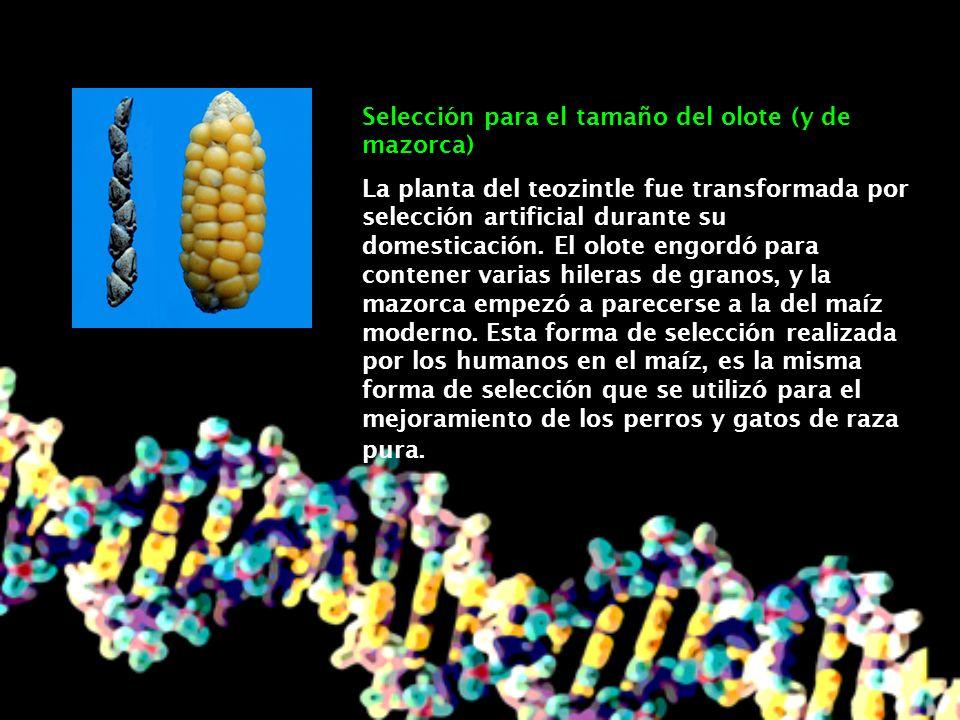 Selección para calidad del grano El maíz incipiente era duro para masticar debido a sus glumas.