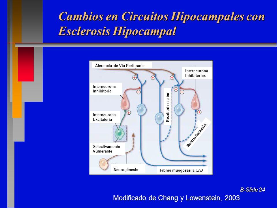 B-Slide 24 Modificado de Chang y Lowenstein, 2003 Cambios en Circuitos Hipocampales con Esclerosis Hipocampal Aferencia de Vía Perforante Interneurona