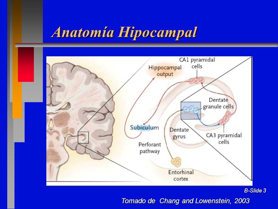 B-Slide 24 Modificado de Chang y Lowenstein, 2003 Cambios en Circuitos Hipocampales con Esclerosis Hipocampal Aferencia de Vía Perforante Interneurona Inhibitorias Interneurona Inhibitoria Interneurona Excitatoria Selectivamente Vulnerable Neurogénesis Fibras musgosas a CA3 Neurogénesis Rearboriazación