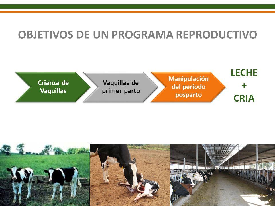 OBJETIVOS DE UN PROGRAMA REPRODUCTIVO Crianza de Vaquillas Vaquillas de primer parto Manipulación del periodo posparto LECHE + CRIA