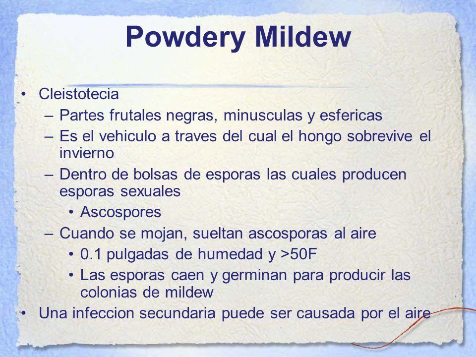 Powdery Mildew Cleistotecia –Partes frutales negras, minusculas y esfericas –Es el vehiculo a traves del cual el hongo sobrevive el invierno –Dentro d