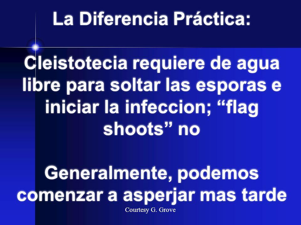La Diferencia Práctica: Cleistotecia requiere de agua libre para soltar las esporas e iniciar la infeccion; flag shoots no Generalmente, podemos comen