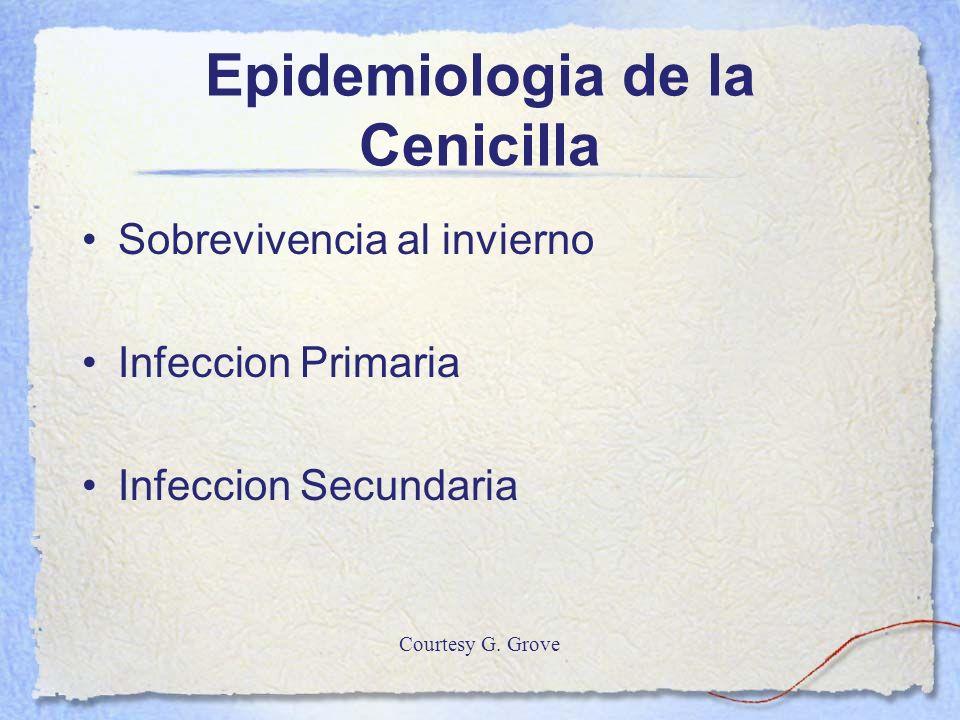 Epidemiologia de la Cenicilla Sobrevivencia al invierno Infeccion Primaria Infeccion Secundaria Courtesy G. Grove