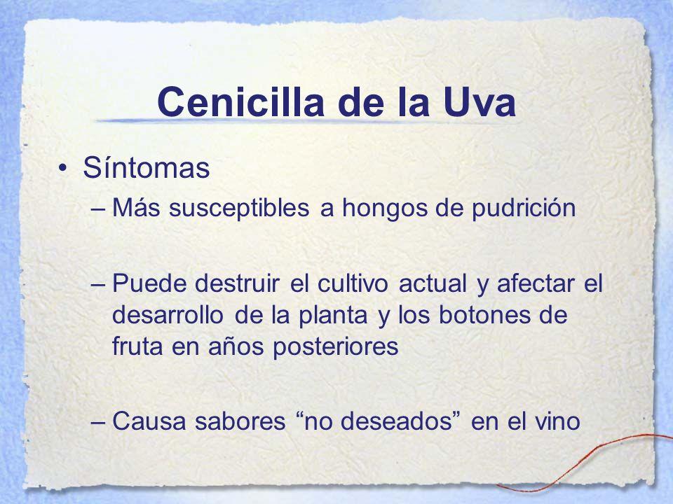 Cenicilla de la Uva Síntomas –Más susceptibles a hongos de pudrición –Puede destruir el cultivo actual y afectar el desarrollo de la planta y los boto