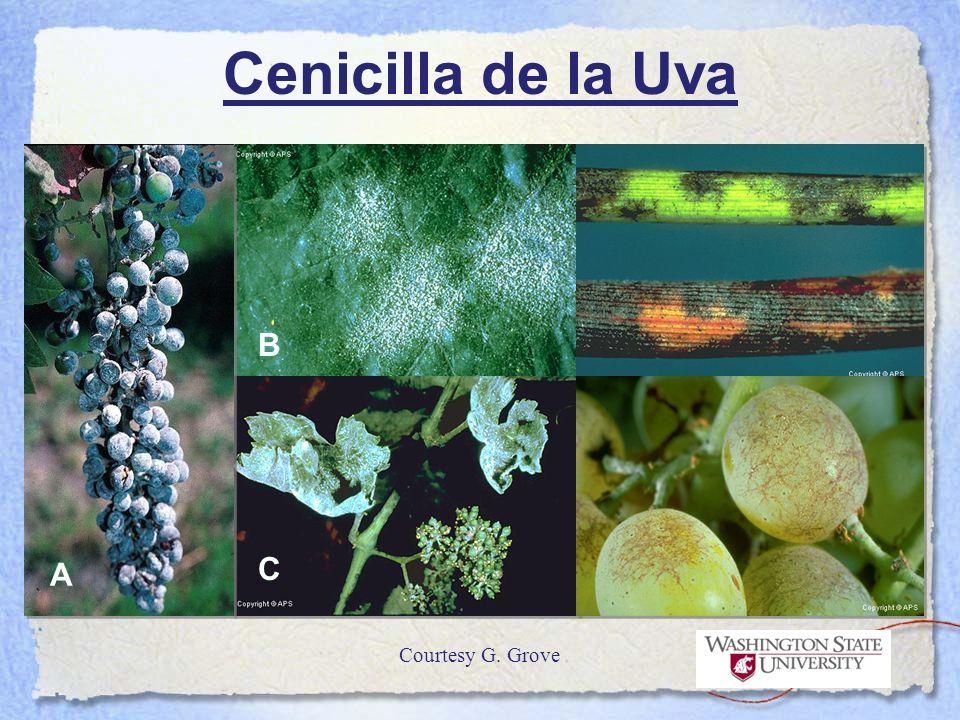 Cenicilla de la Uva A B C Courtesy G. Grove