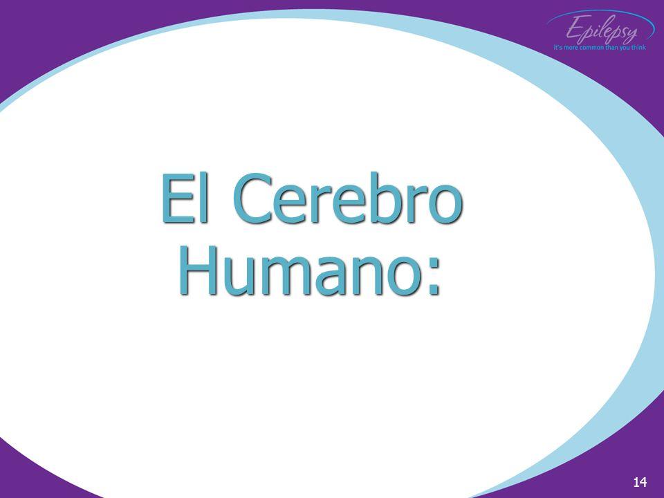 14 El Cerebro Humano: