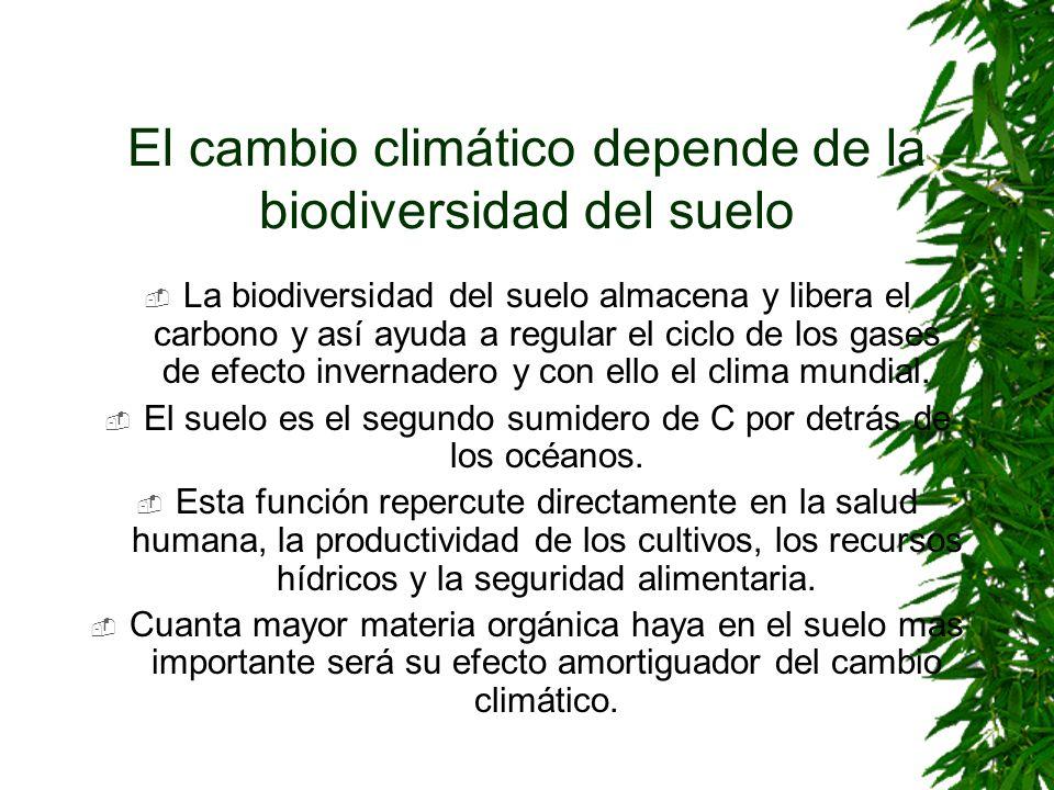 El cambio climático depende de la biodiversidad del suelo La biodiversidad del suelo almacena y libera el carbono y así ayuda a regular el ciclo de lo