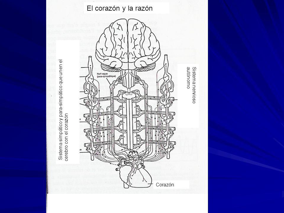 El corazón y la razón Corazón Sistema nervioso autónomo Sistema simpático y para-simpático que unen el cerebro con el corazón