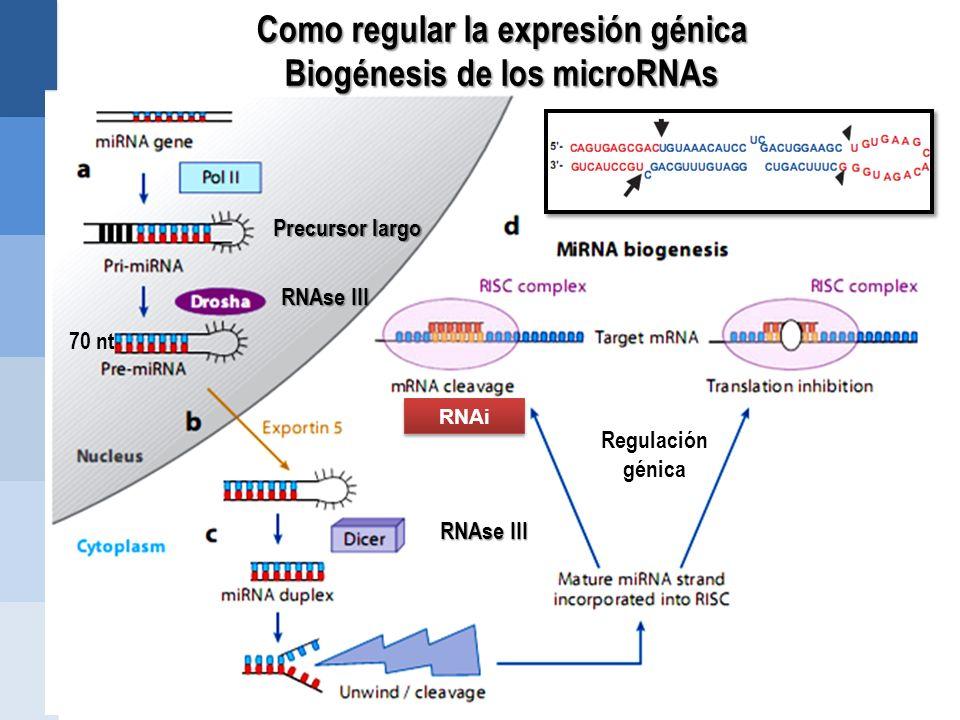 Como regular la expresión génica Biogénesis de los microRNAs RNAi Precursor largo RNAse III 70 nt RNAse III Regulación génica