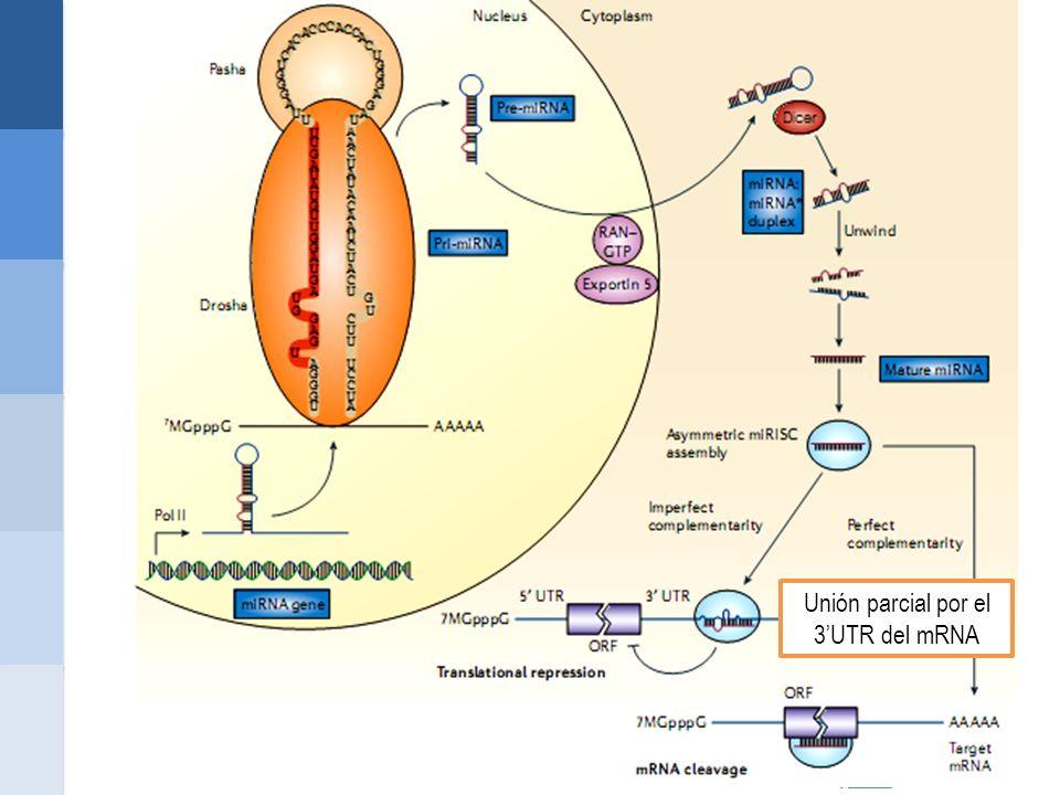Unión parcial por el 3UTR del mRNA