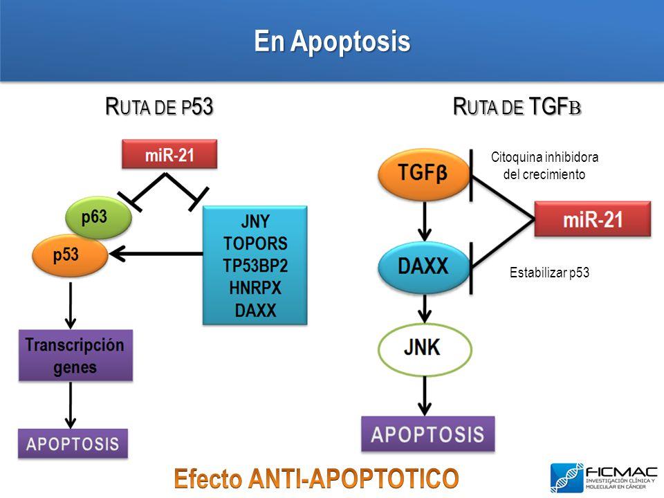 En Apoptosis R UTA DE P 53 R UTA DE TGF Β Citoquina inhibidora del crecimiento Estabilizar p53