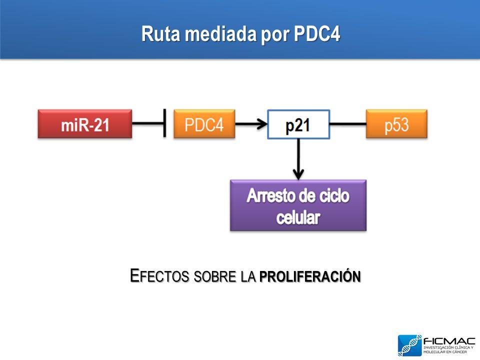 Ruta mediada por PDC4 E FECTOS SOBRE LA PROLIFERACIÓN