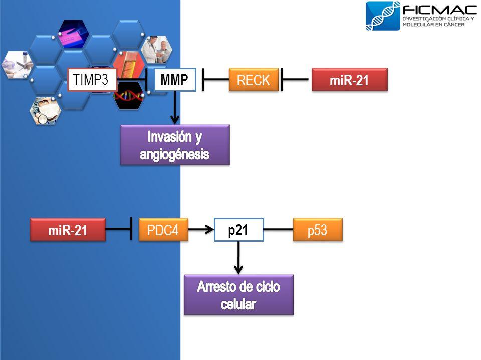 MMP TIMP3 RECK miR-21 p21 PDC4 p53 miR-21